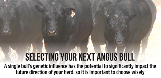 Want to purchase Angus genetics?