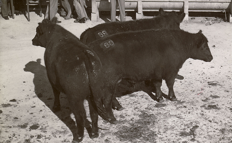 1952 Fat stock & carcase show conducted by Royal Agricultural Society of NSW. Winners of the Export steer Competition sponsored by the Australian Meat Board. Pure Aberdeen-Angus bred and Exhibited by Estate late A.F Ross, Balaclava Station Glen Innes