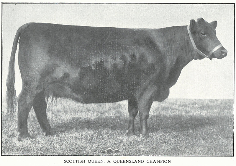 Scottish Queen, Reserve Aberdeen-Angus cow at the 1918 Brisbane Exhibition, owned by George C Clarke, East Talgai QLD and bred by HB Williams, Turihaua NZ, born 20th August 1913