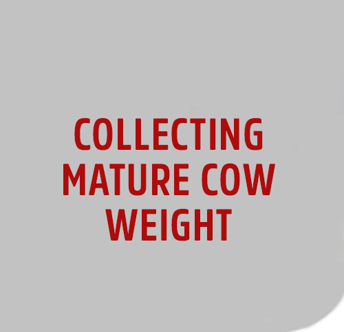 COLLECT-MATURE-COW