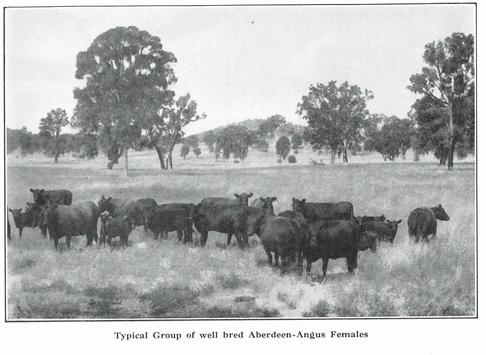 Typical mob of Angus Cattle