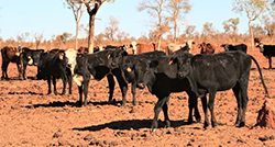 A snapshot of Angus use in the North – Aileron Pastoral Holdings
