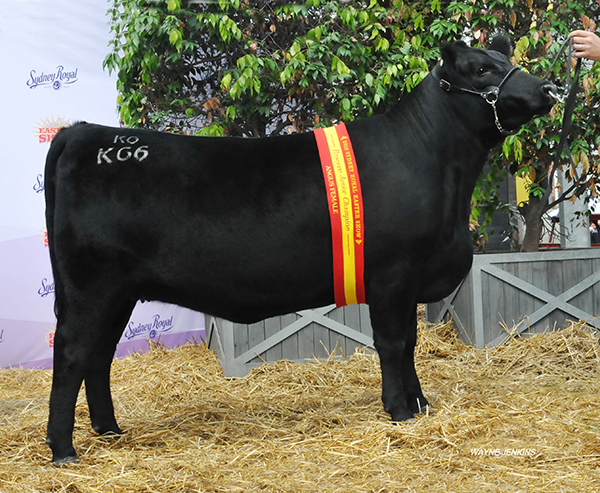 Reserve Junior Champion Angus Female – KO DREAM K66 exhibited by K O Angus