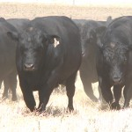Selecting your next Angus Bull