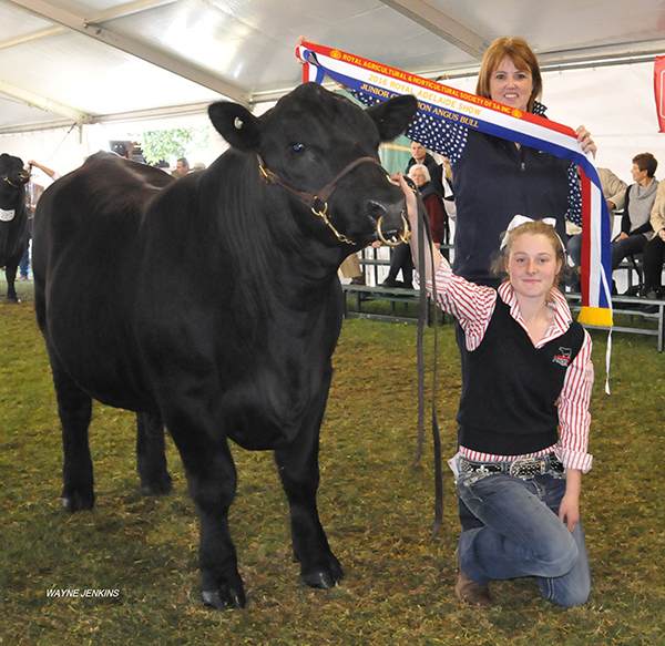 Junior Champion Bull