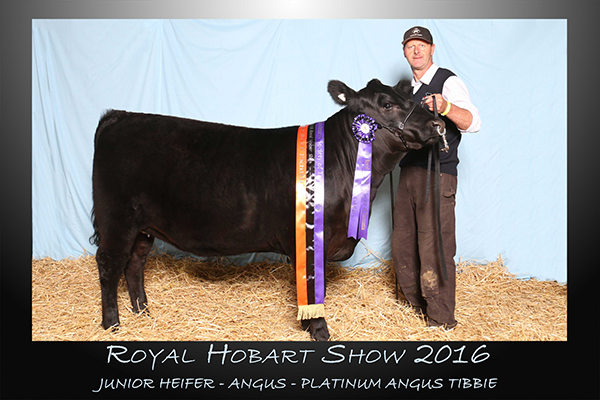 Junior Hiefer - Angus - Platinum Angus Tibbie