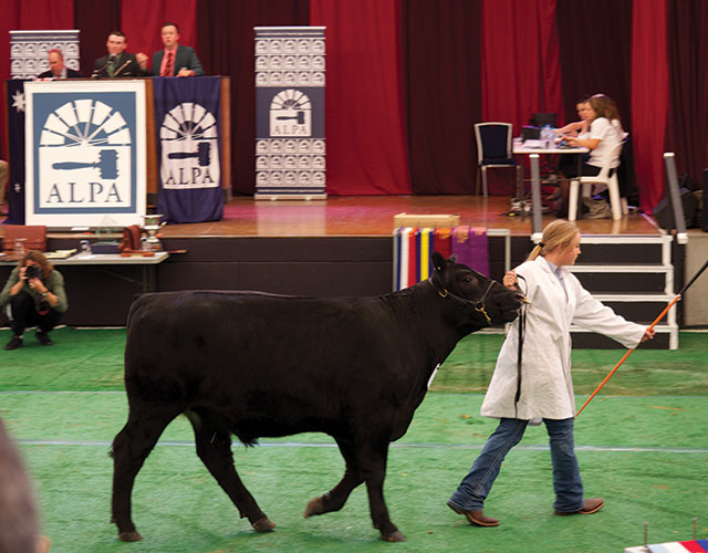 Sophie parading Muster at Sydney Royal Show Steer Auction