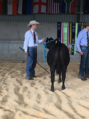 Angus McGregor in the heifer classes