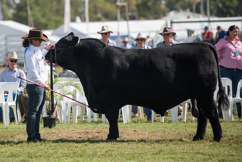 Junior & Grand Champion Bull - PC H130 Kodiak M117
