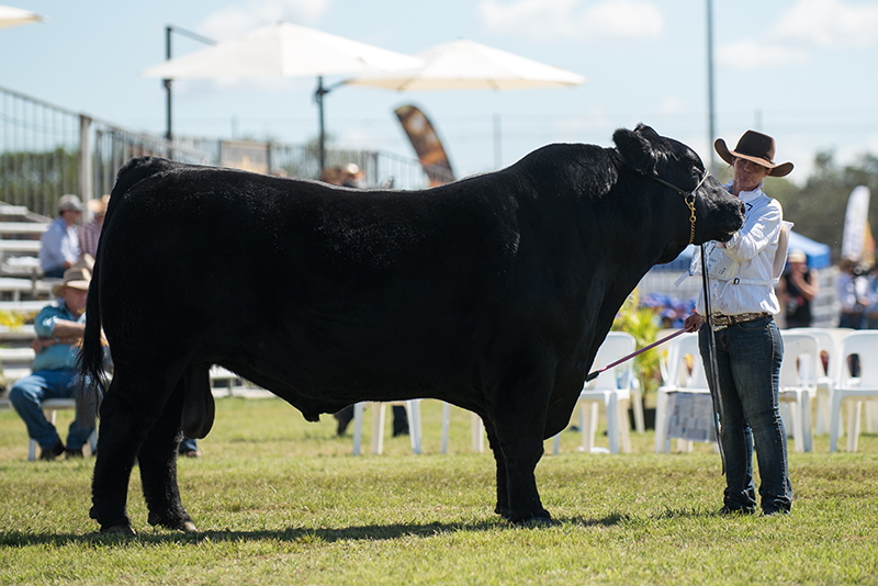 Senior Champion Bull - PC Kodiak L171