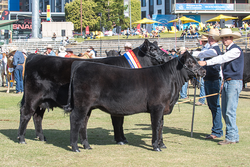 Grand Champion & Senior Champion Angus Female - MUNDOO LEAH M9