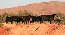 Northern Australia Protocols - Guidelines for Using Angus Bulls