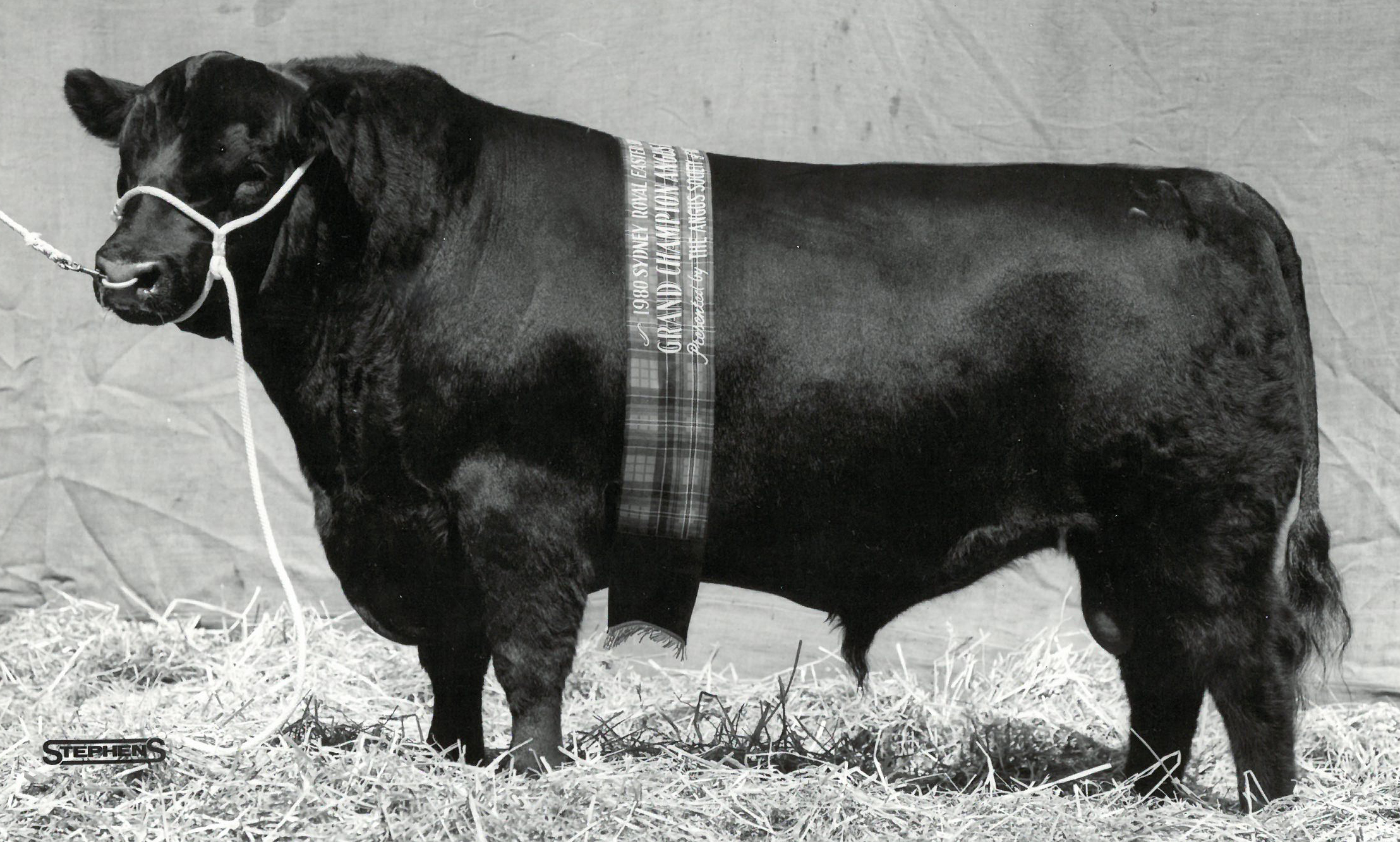 Ben Nevis Crusader W38, Senior and Grand Champion Bull, best Angus exhibit, Sydney Royal 1980