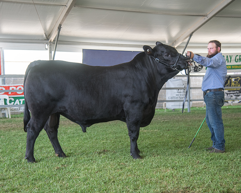 Senior Champion Bull - Monterey Mighty M237