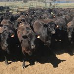 Save the date: Angus Sire Benchmarking Open Day