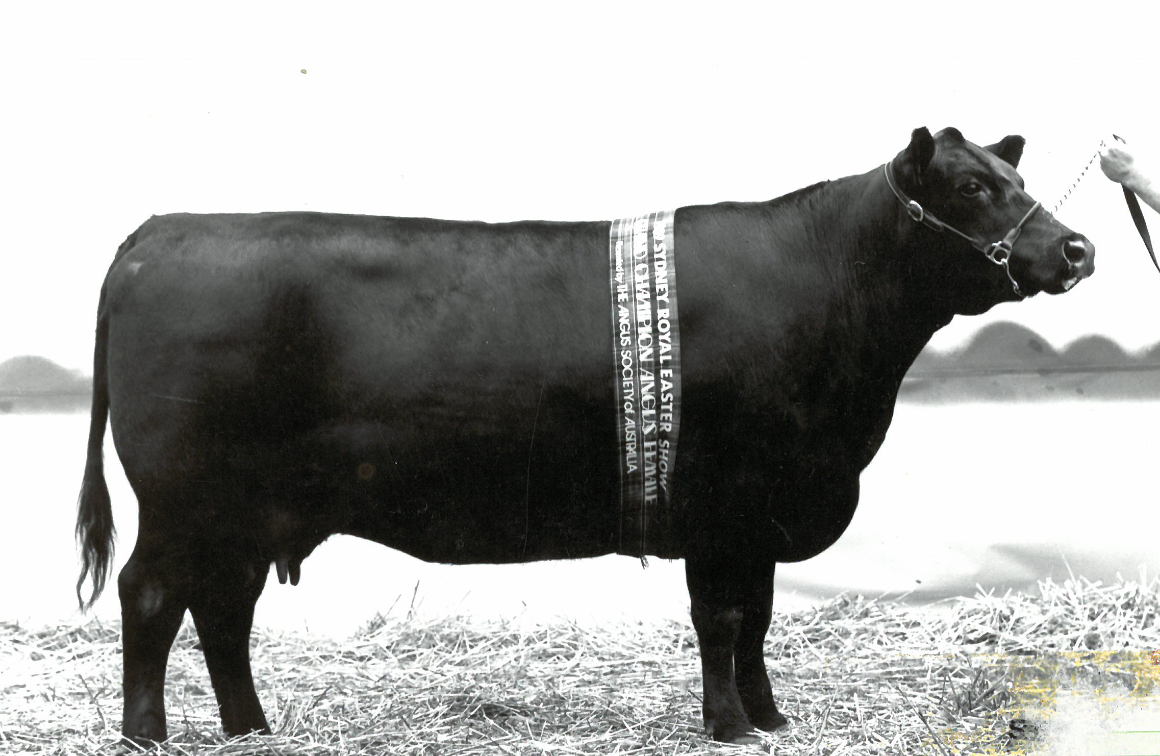 Merrigrange Vicky D114, Grand Champion, Sydney Royal 1989