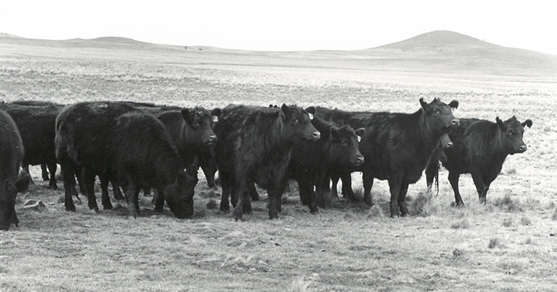 Springwell heifers in 1986 for the Monaro Angus Breeders sale