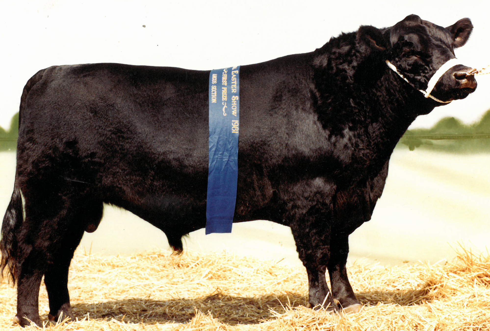 Supreme Angus Exhibit, Sydney Royal 1981