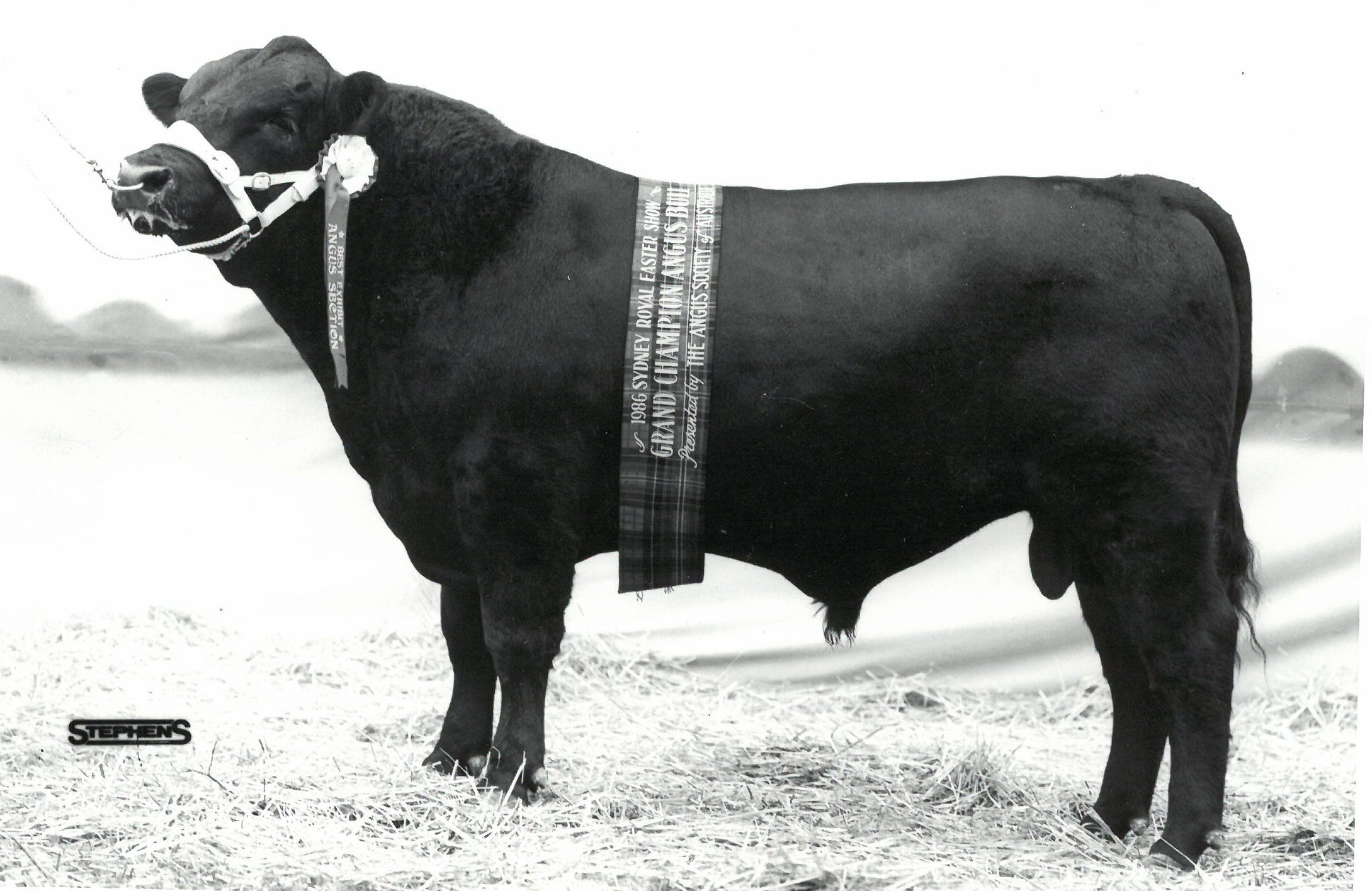 Wilson Downs Stampede, Grand Champion Angus Bull & Supreme Angus Exhibit, Sydney Royal 1986