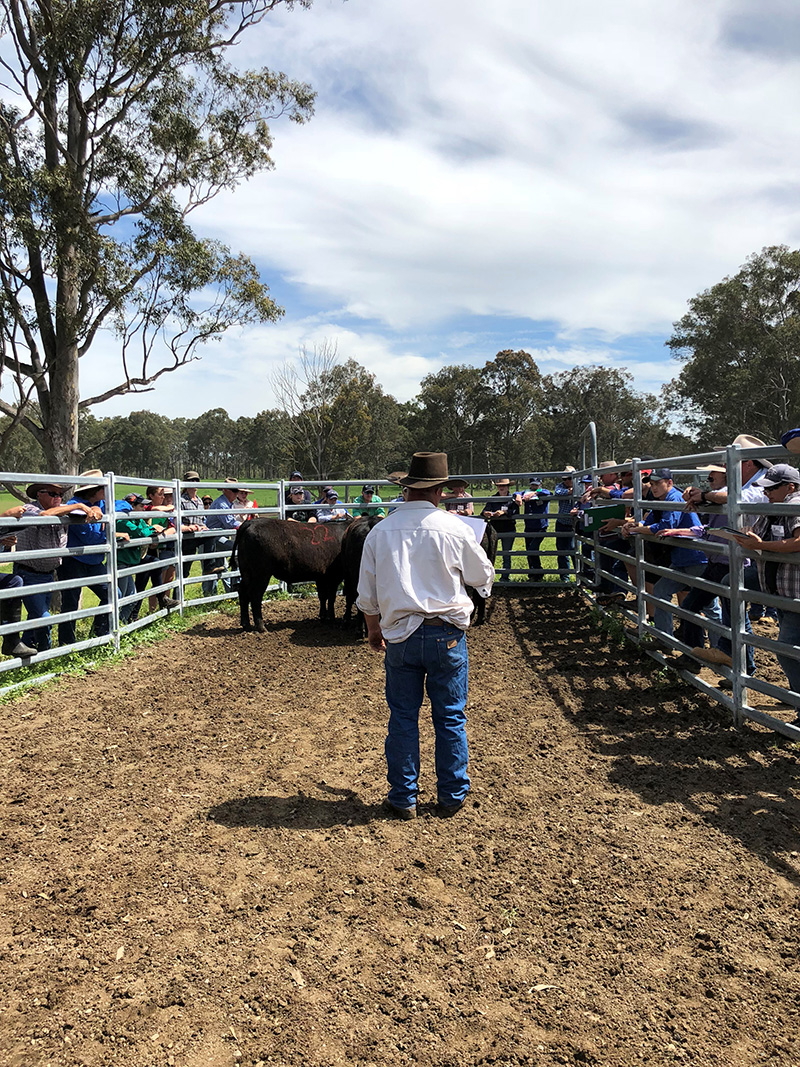 Tocal-Beef-Cattle-Assessment-Course-Trade-Classes-4-002crop