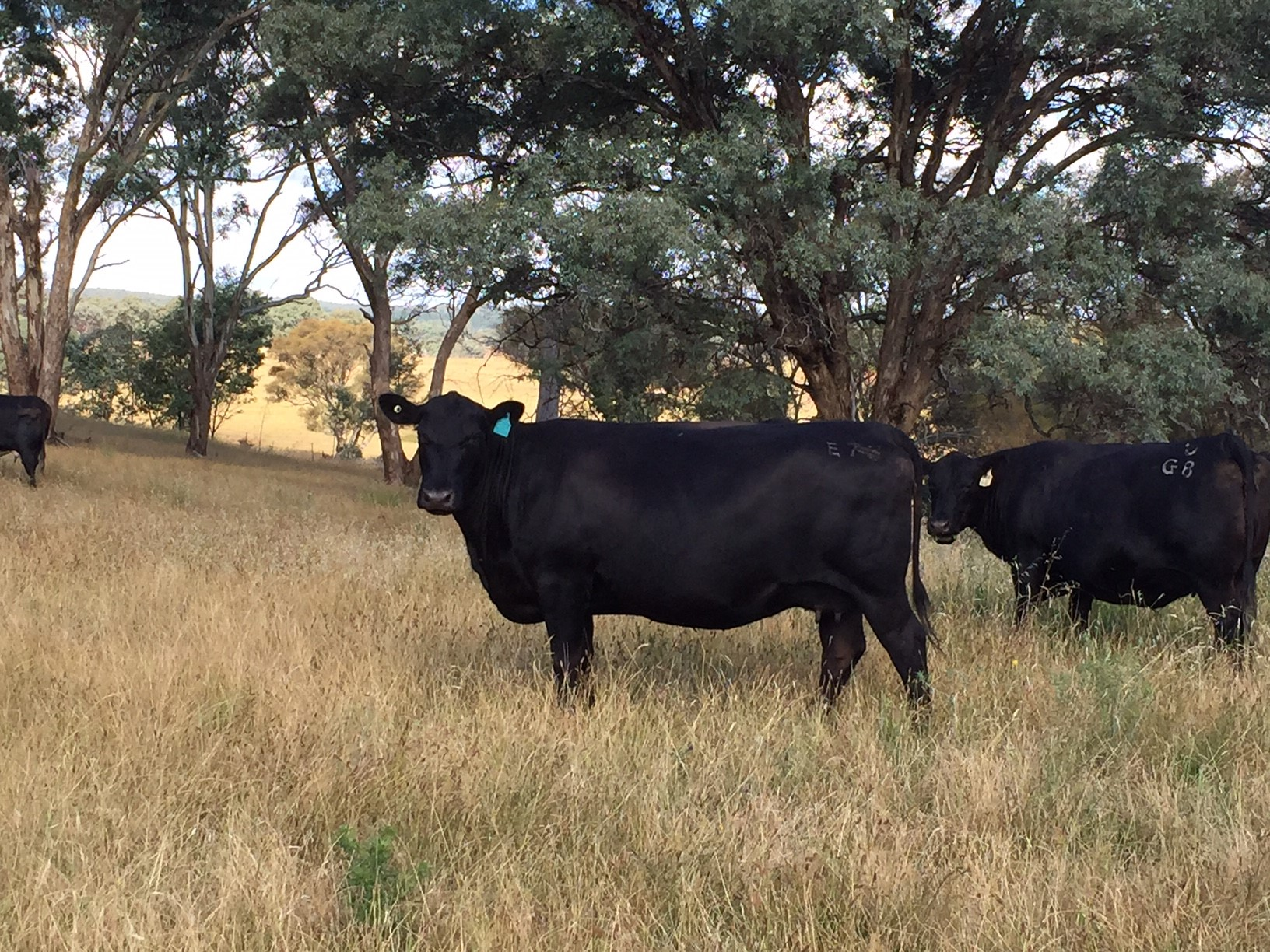Embryo - Donor Dam E73 Genesis - Donated by Dalwhinnie Angus