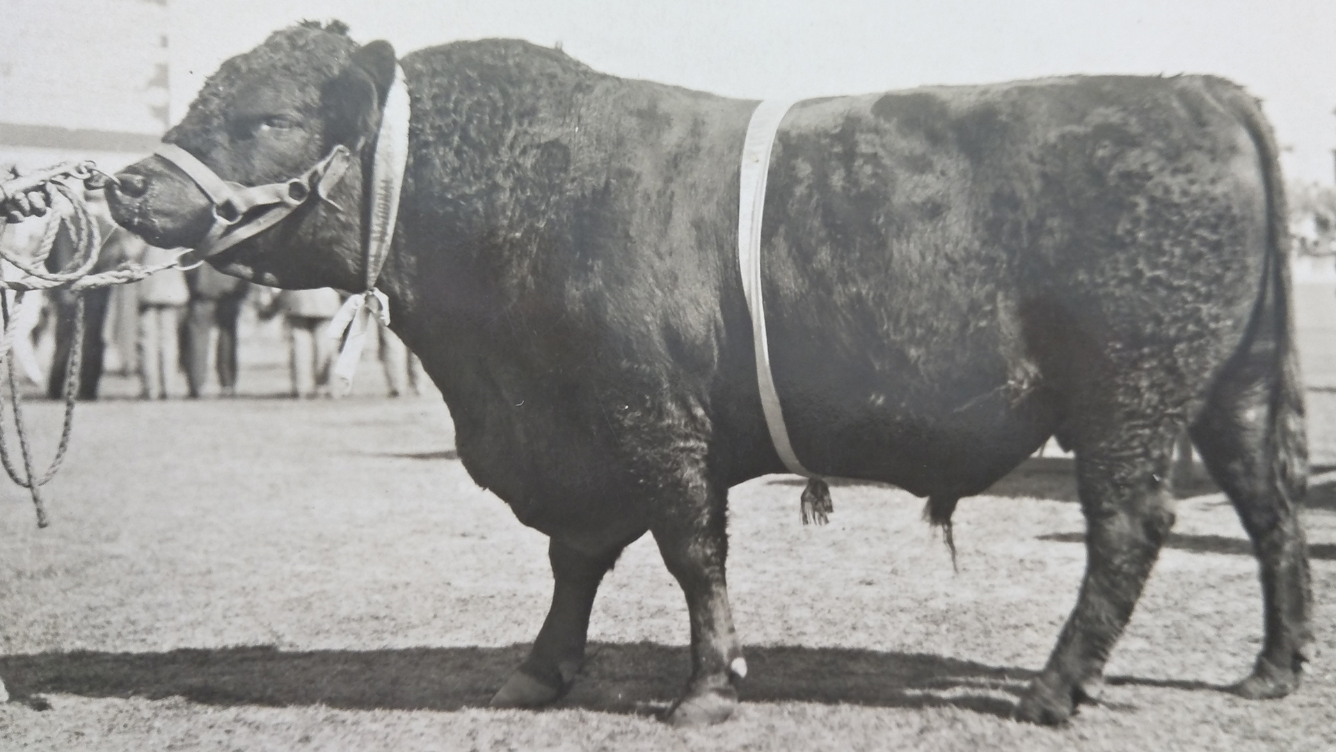 Manfred, Champion Aberdeen-Angus Bull Brisbane Royal Show 1924 & 1925, bred and owned by George C Clarke, East Talgai QLD