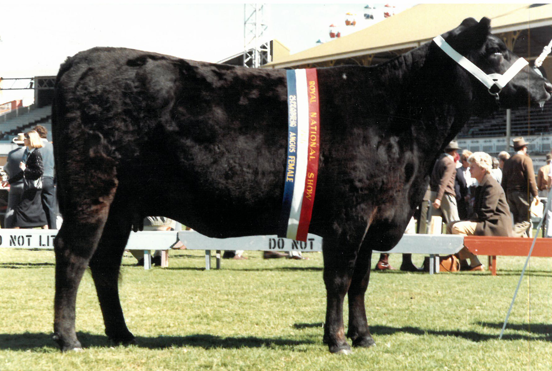 Champion Angus Female 