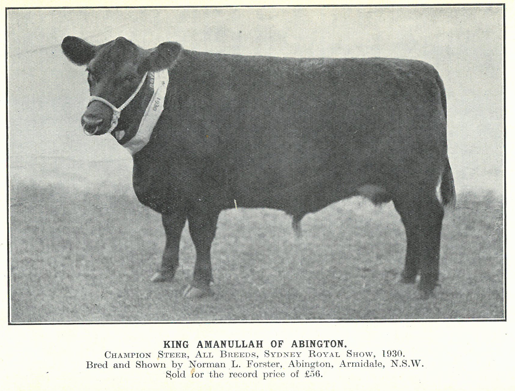 King Amanullah of Abington - 1930 All Breeds Steer, Sydney Royal Show
