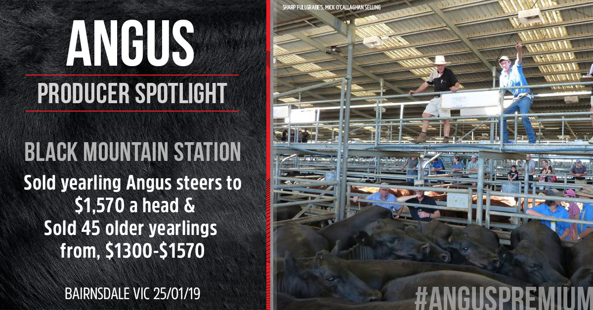 Sharp Fullgrabe's, Mick O'Callaghan sold yearling Angus steers from Black Mountain Station. Image courtesy of Stock & Land