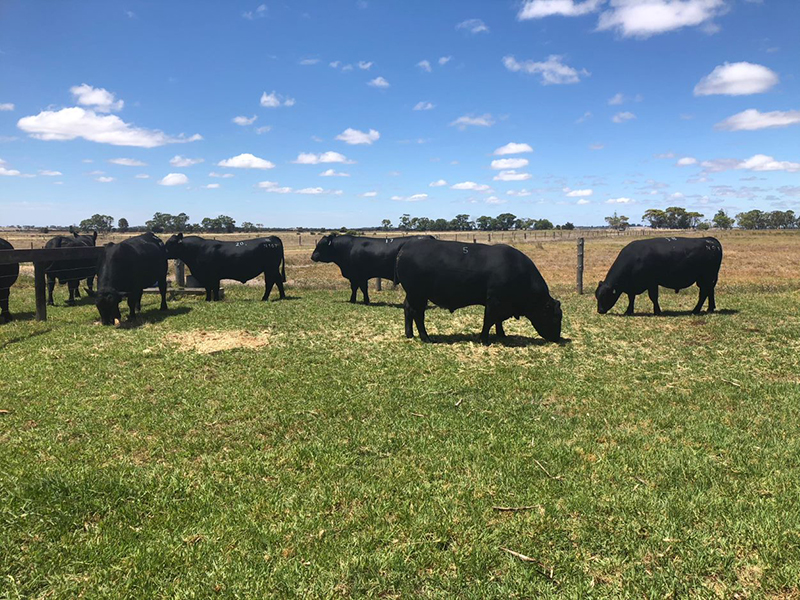 Bulls on display at Glatz Black Angus, Avenue Range, SA
