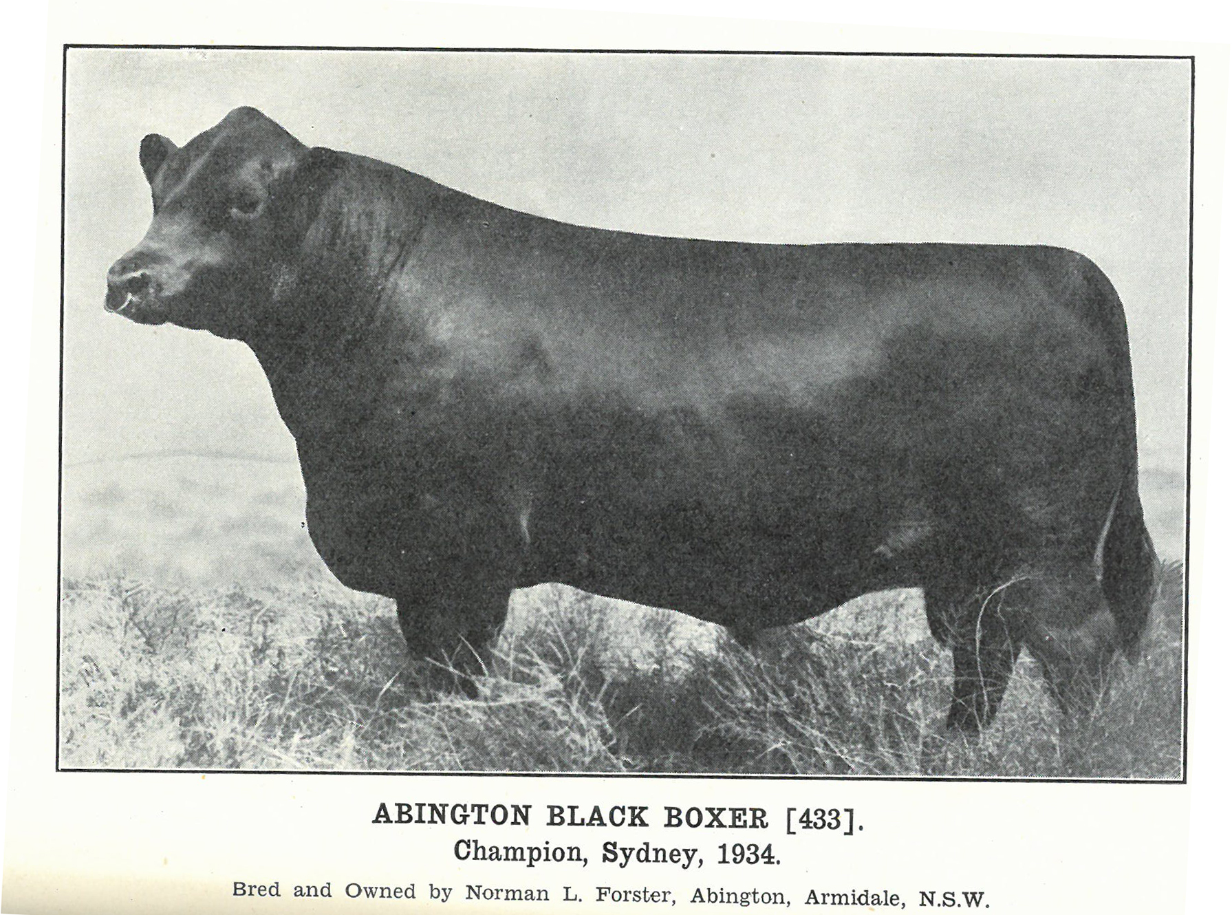 Abington Black Boxer