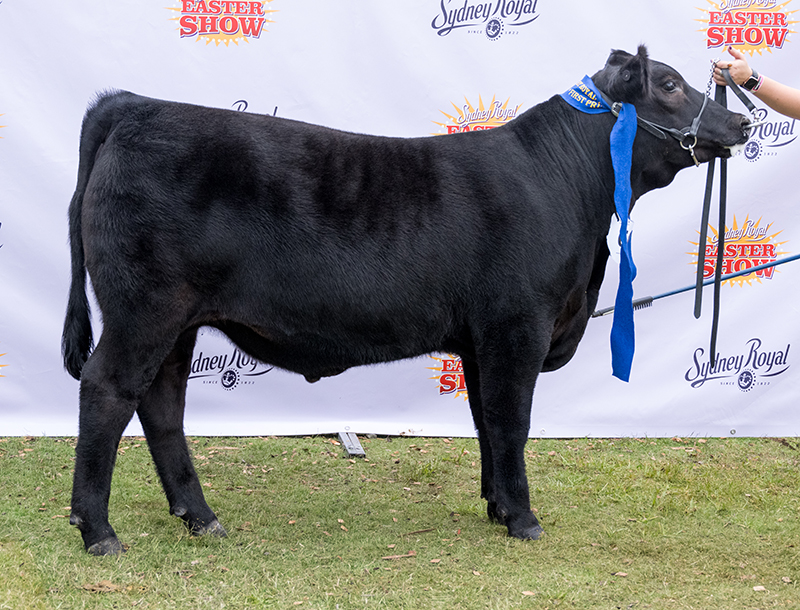 Silver Medal, 2nd heavyweight carcase 11A & 1st on the hoof – KO Angus Stud