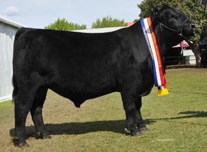 Royal Adelaide 2015 Junior Champion Bull