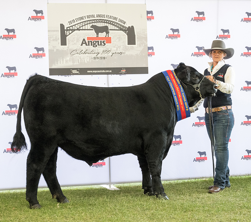 Angus Calf Champion Bull