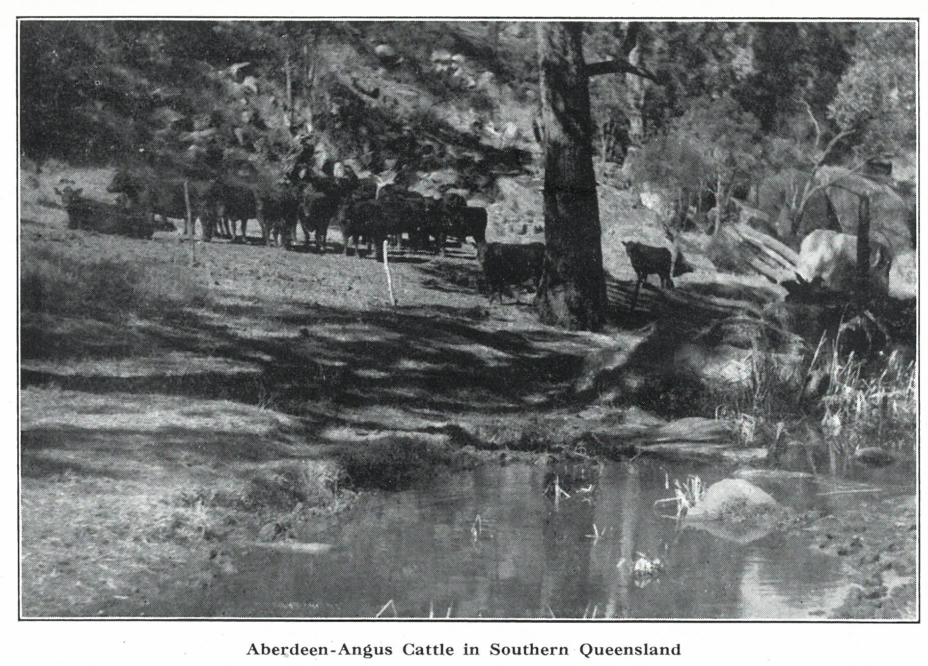 Angus cattle in Southern Queensland