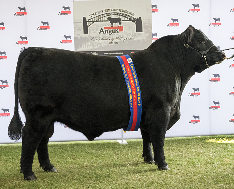 Champion Intermediate Bull