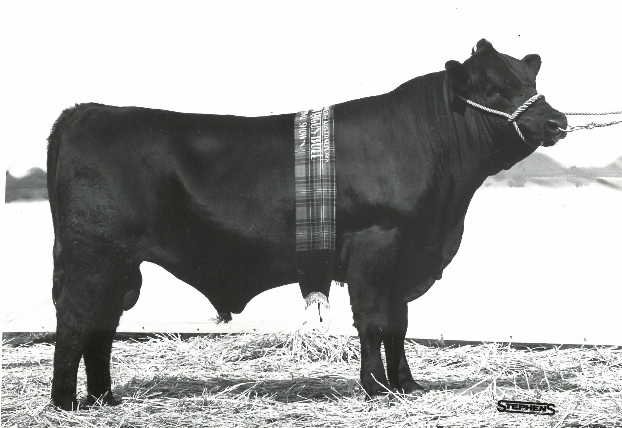 Glen Bold Iroquois C48 Junior and Grand Champion Angus bull 1984 Adelaide Royal