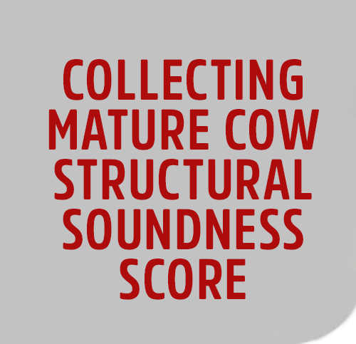 MATURE-COW-STRUCTURAL-SOUNDNESS