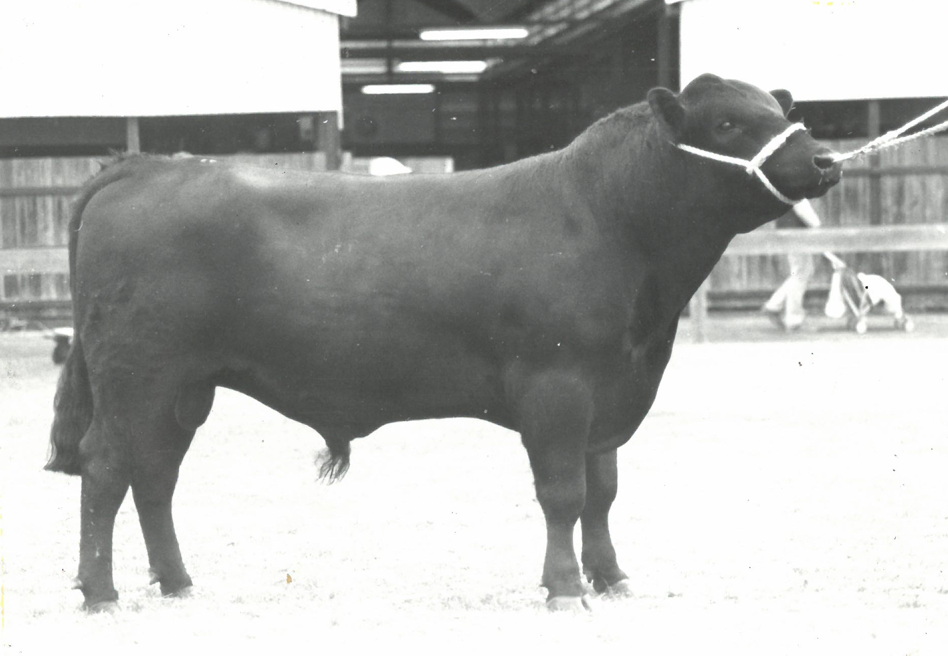 Prospect Skyhigh 63M Senior and Grand Champion Angus bull 1982 Adelaide Royal Show