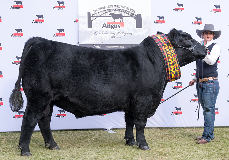 Senior & Grand Champion Angus Bull
