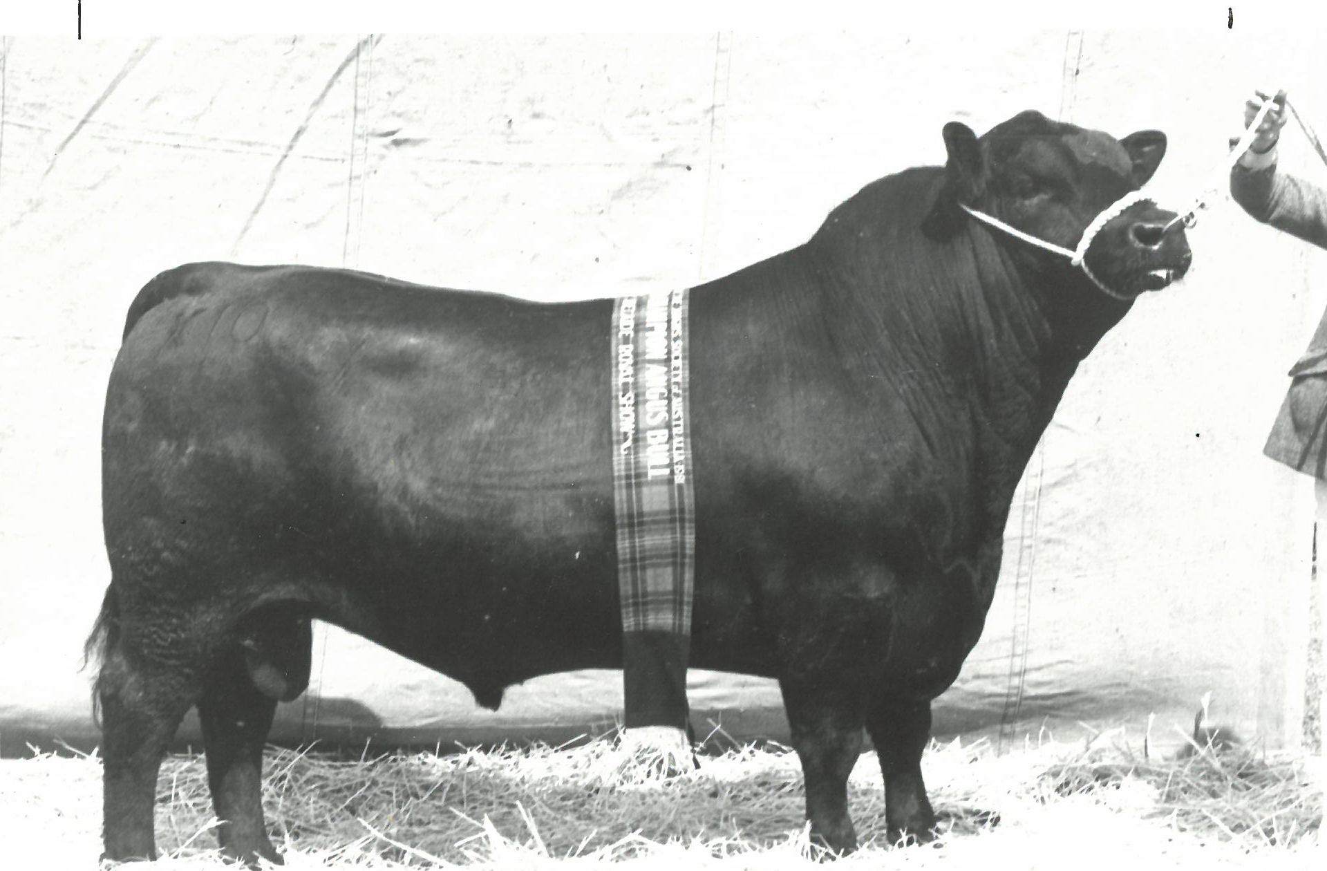 Te Mania Poundmaker X10 Senior and Grand Champion Angus bull Royal Adelaide 1981