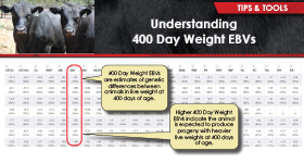 Understanding 400 Day Weight EBVs