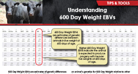 Understanding 600 Day Weight EBVs