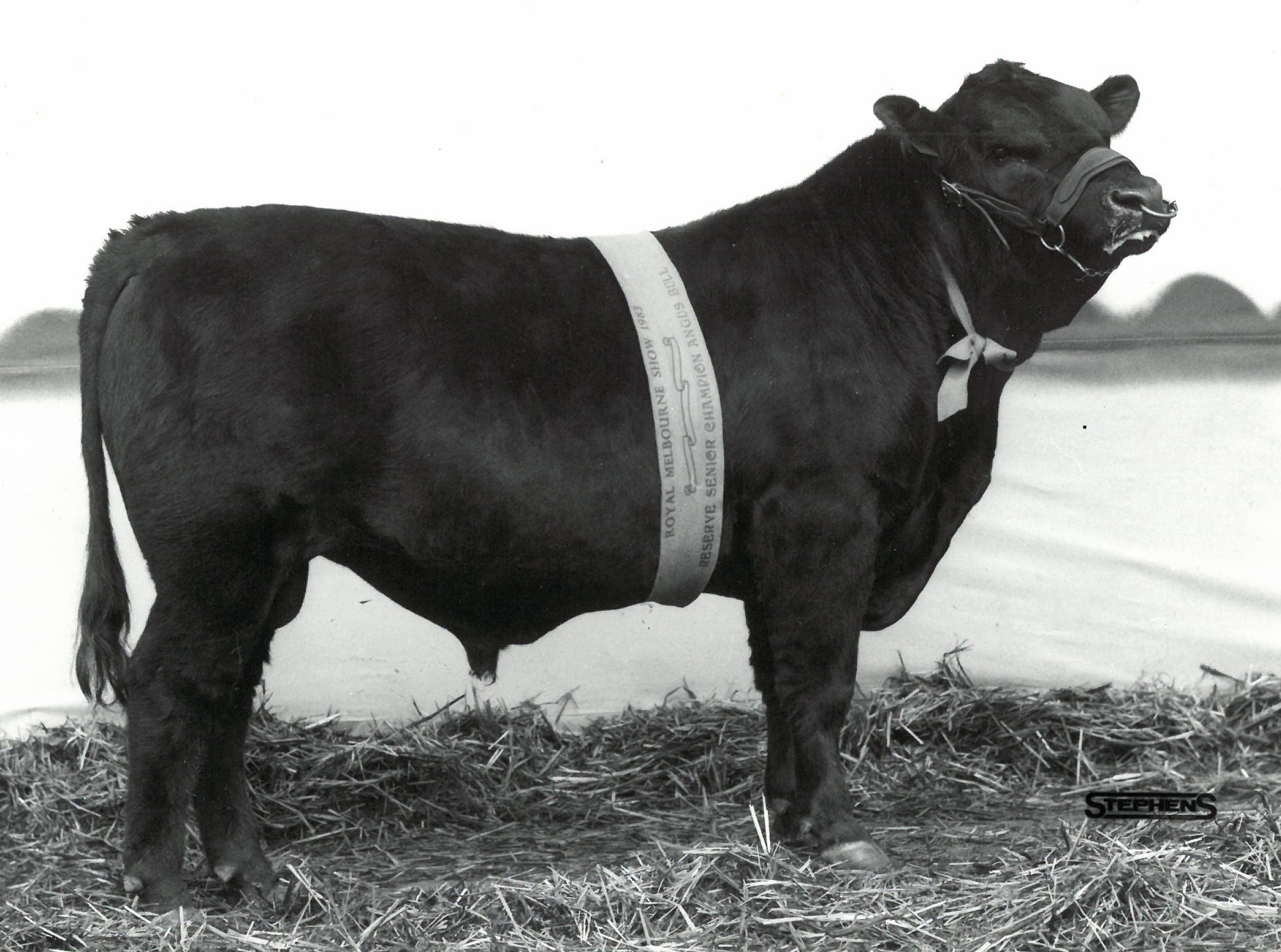 Backtrack Colin Reserve Senior Champion Angus Bull Royal Melbourne Show 1983