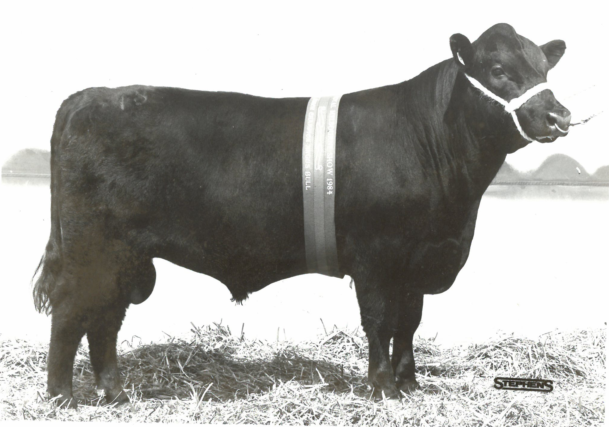 Barwidgee Crest 13N Junior Champion Bull Royal Melbourne 1984