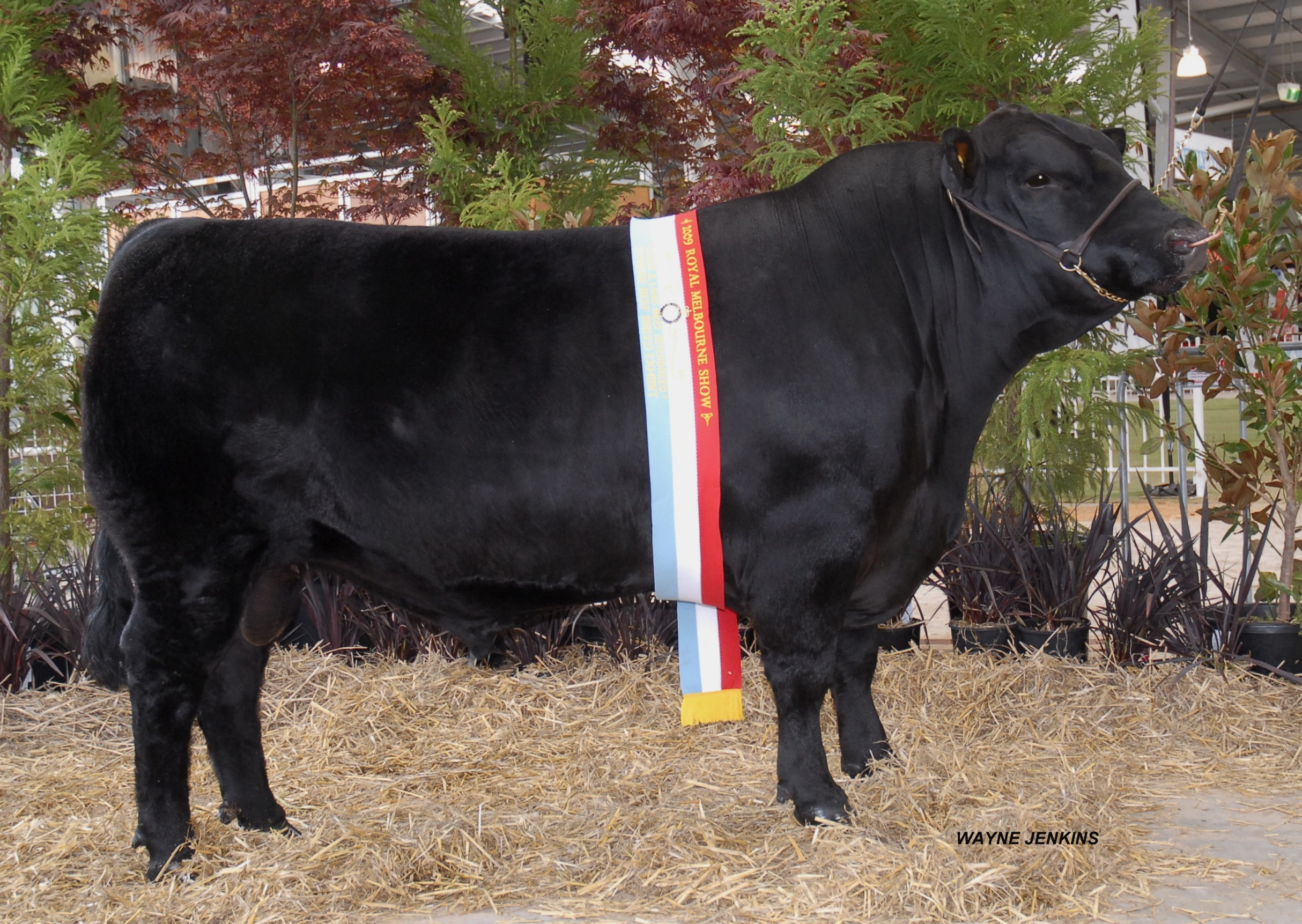 Champion Angus Bull 2009 Melbourne Royal