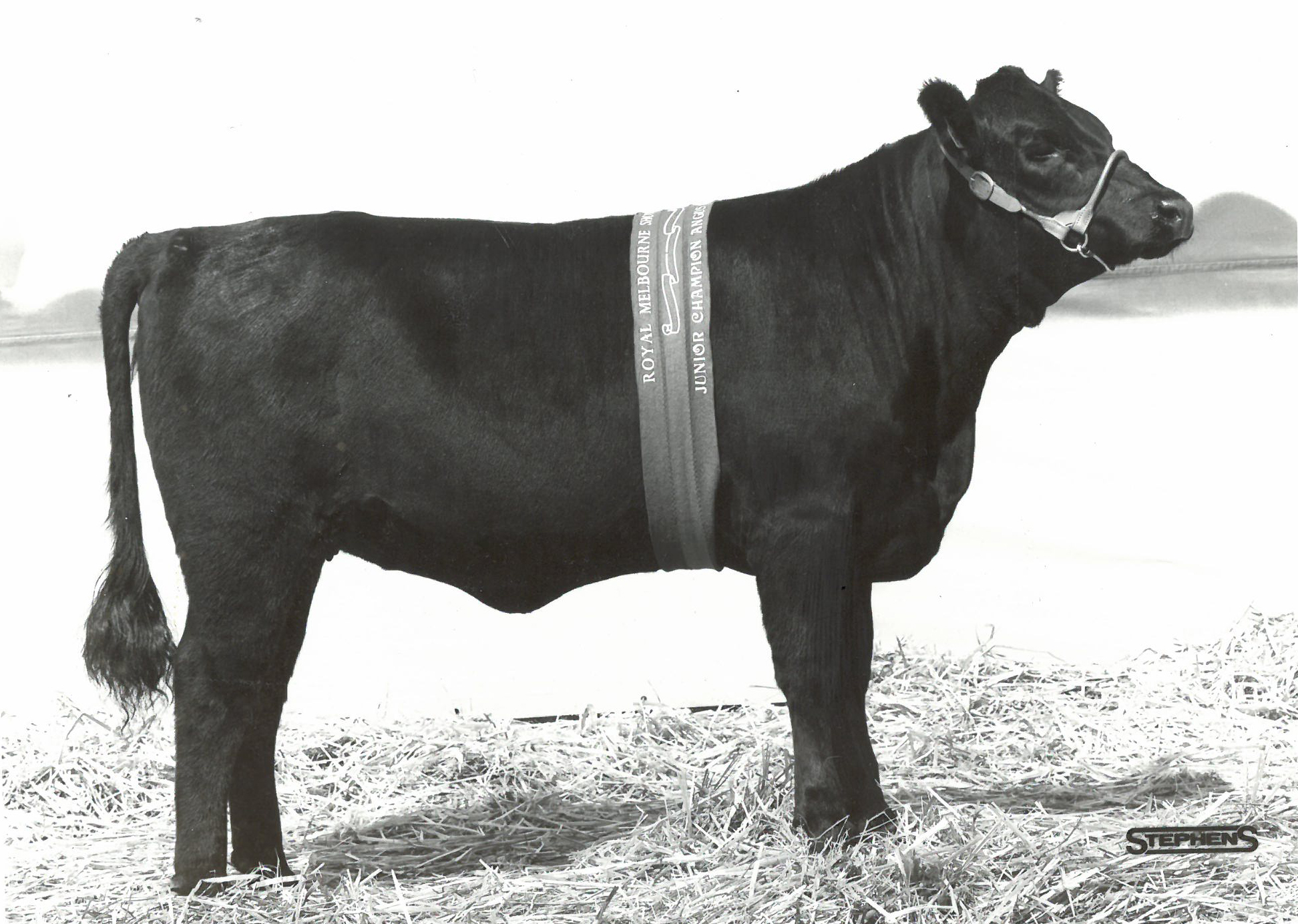 Junior Champion Angus Female Royal Melbourne 1983