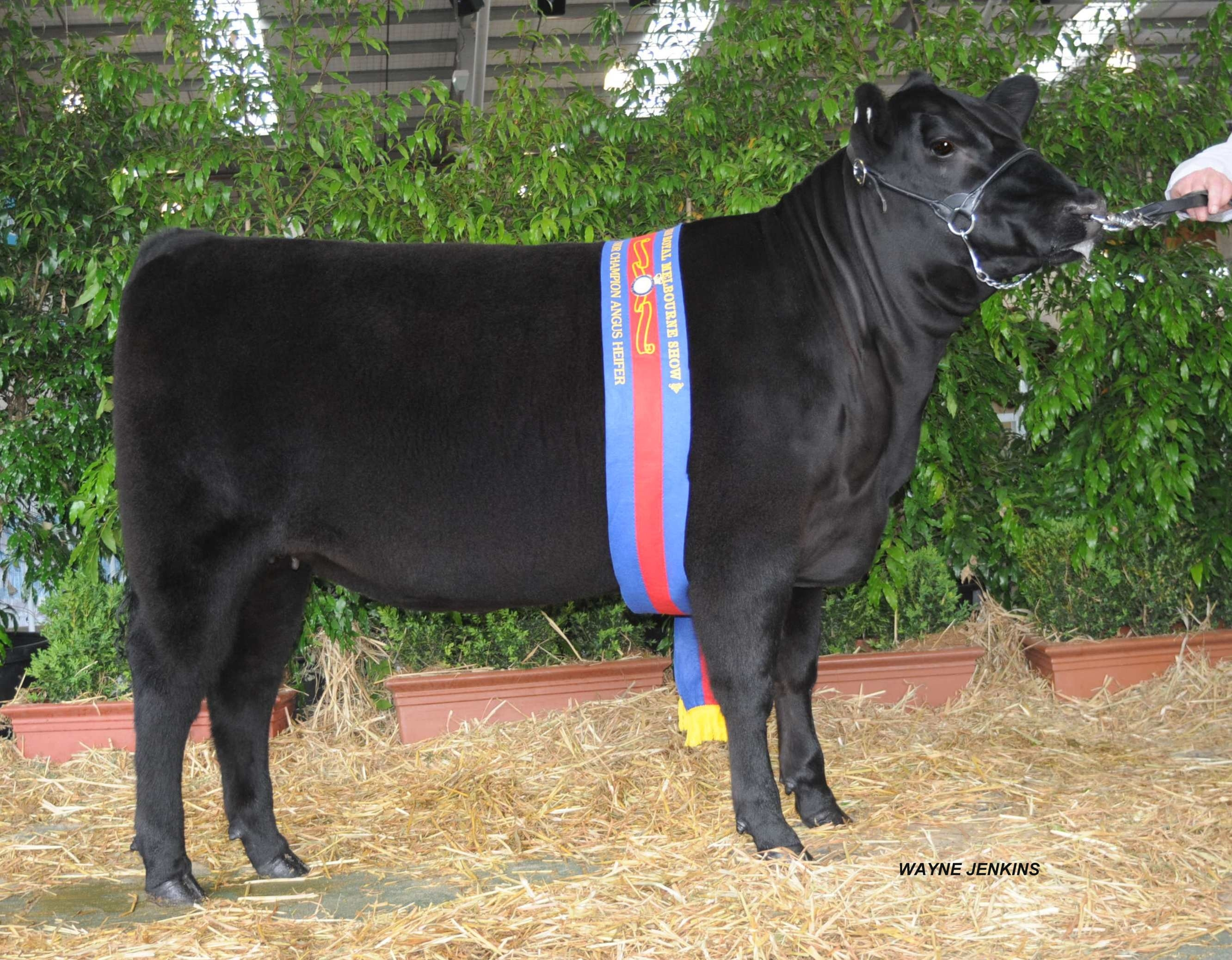 Champion Junior Angus Female Melbourne Royal 2010