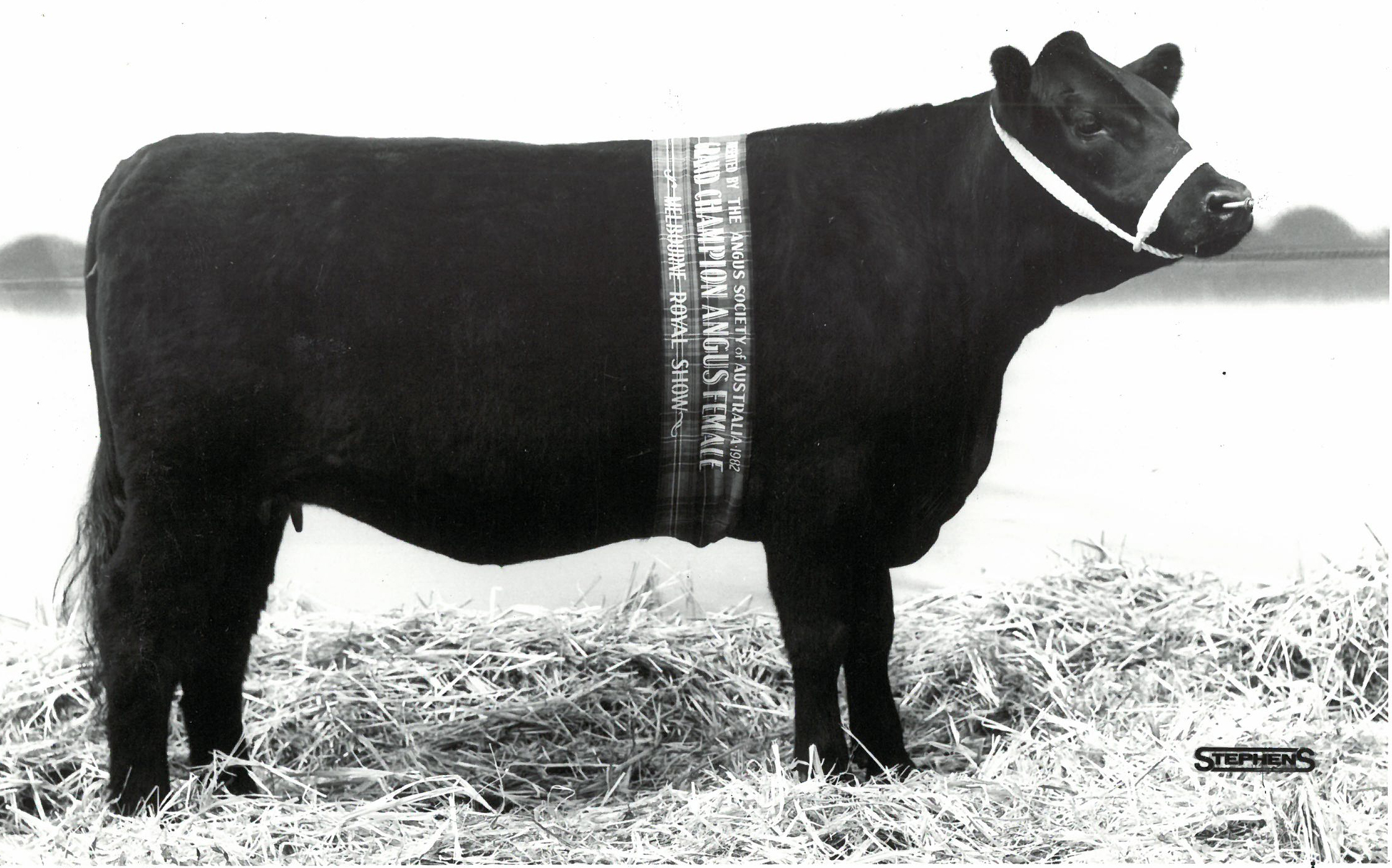 Tibooburra Mildred Z69 Senior and Grand Champion Angus female Melbourne Royal 1982