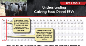 Understanding Calving Ease Direct EBVs